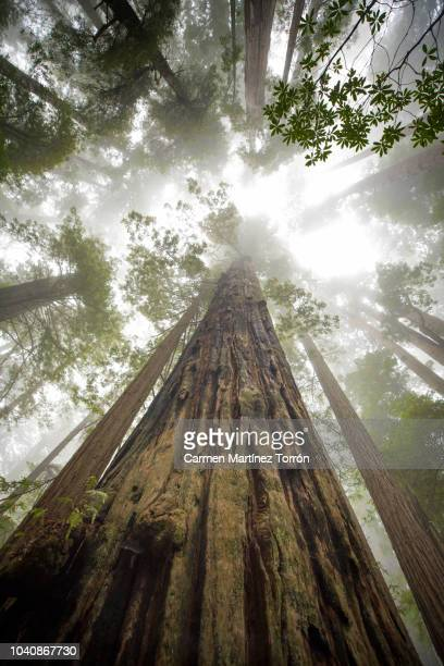 Low Angle View Of Sequoia Trees In Forest, California. USA.