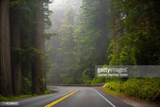 low angle view of sequoia trees in forest, california. usa. - road stock pictures, royalty-free photos & images