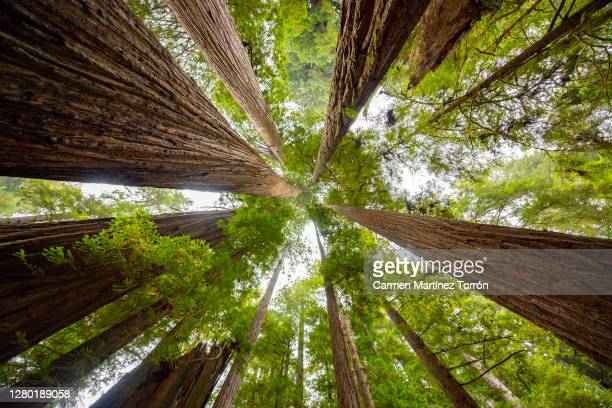 low angle view of sequoia trees in forest, california. usa. - national forest stock pictures, royalty-free photos & images