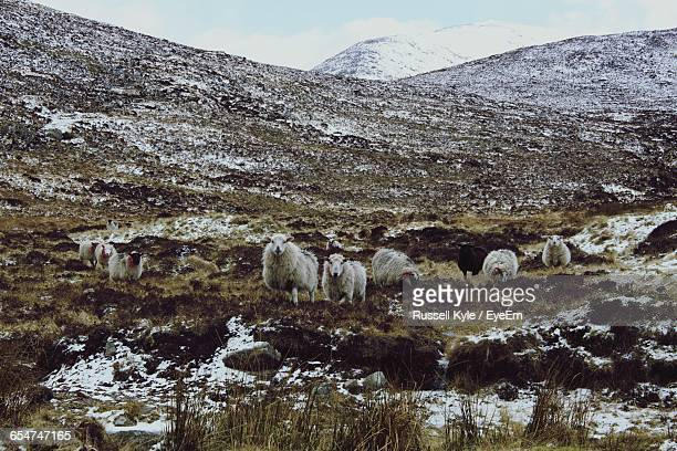 Low Angle View Of Sheep At Mourne Mountains
