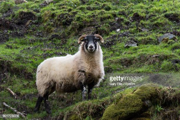 Low Angle View Of Sheep On Grassy Hill