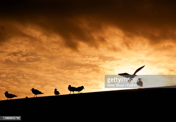 low angle view of silhouette birds flying against sky during sunset - medium group of animals stock pictures, royalty-free photos & images