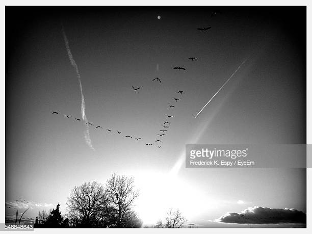 Low Angle View Of Silhouette Birds Flying In Clear Sky