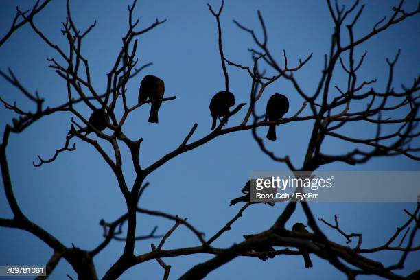 Low Angle View Of Silhouette Birds Perching On Bare Tree Against Clear Sky