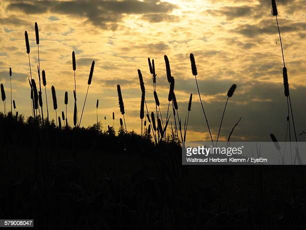 Low Angle View Of Silhouette Cattails Growing Against Cloudy Sky During Sunset