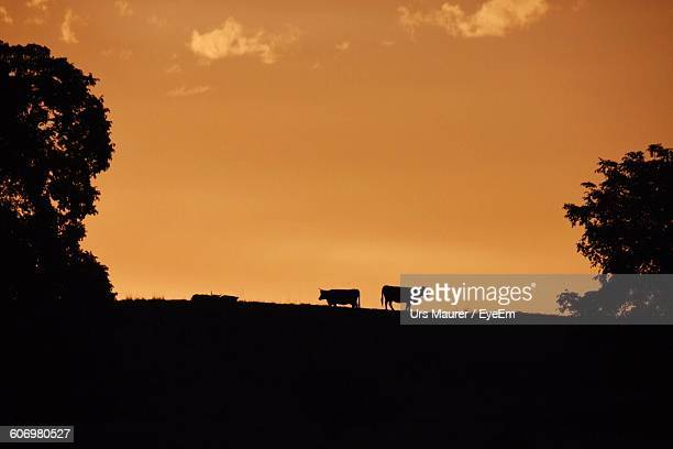 Low Angle View Of Silhouette Cows Standing On Field During Sunrise