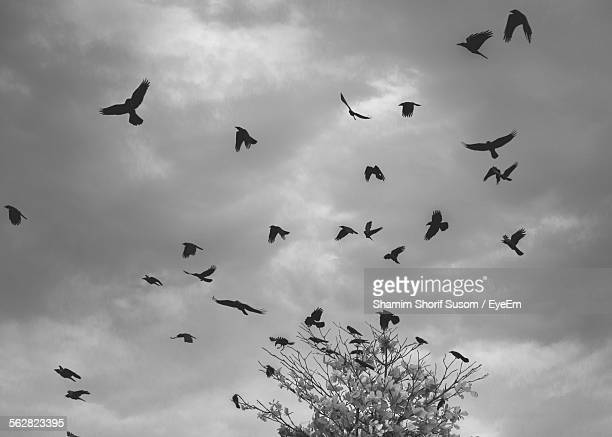 low angle view of silhouette crows against storm cloud - crow stock pictures, royalty-free photos & images
