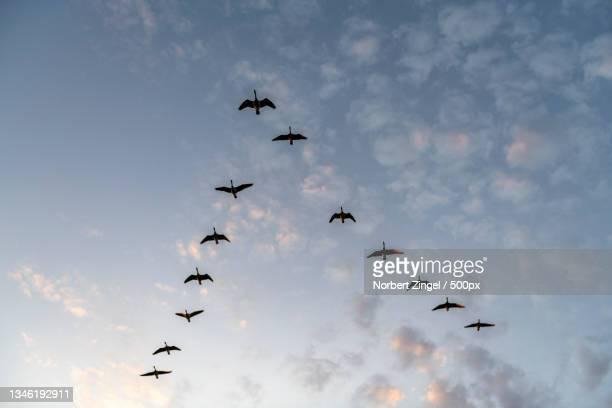 low angle view of silhouette of birds flying against sky,nieby,germany - norbert zingel stock-fotos und bilder