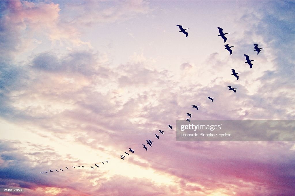 Low Angle View Of Silhouette Pelicans Flying Against Sunset Sky : Stock-Foto