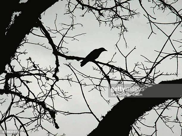 low angle view of silhouette raven perching on bare tree - dead raven stock photos and pictures