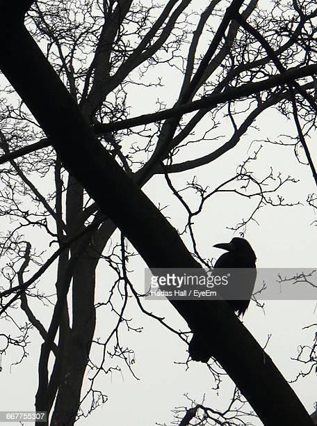 Low Angle View Of Silhouette Raven Perching On Tree