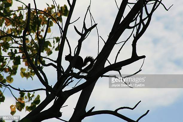 Low Angle View Of Silhouette Squirrel On Tree Against Cloudy Sky