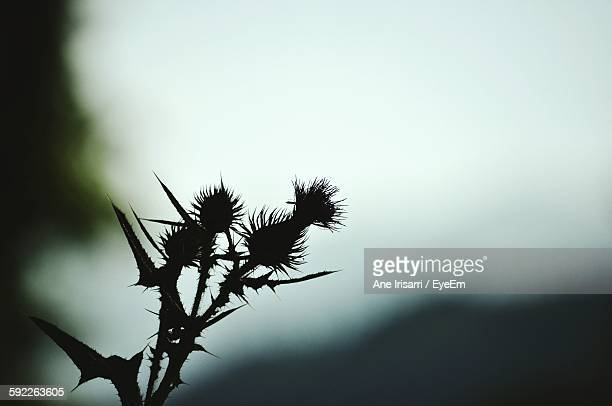 Low Angle View Of Silhouette Thistles Against Sky At Dusk
