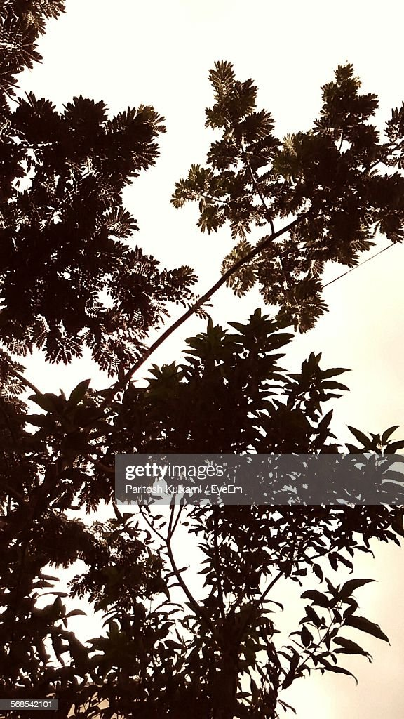 Low Angle View Of Silhouette Tree Against Clear Sky : Stock Photo
