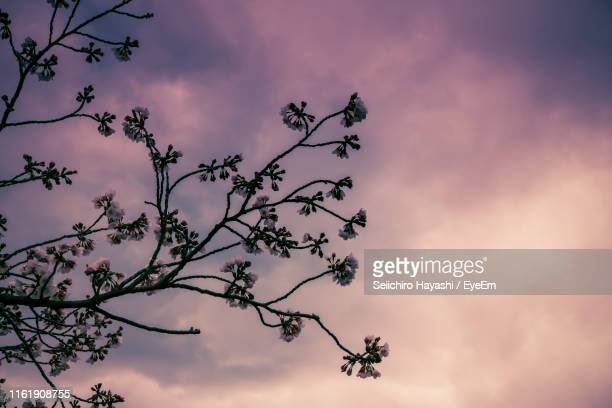 low angle view of silhouette tree against sky at sunset - seiichiro hayashi ストックフォトと画像