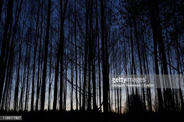 low angle view of silhouette trees against sky at night - 松林 ストックフォトと画像