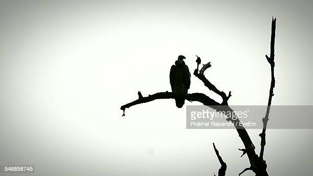 Low Angle View Of Silhouette Vulture On Bare Tree Against Clear Sky