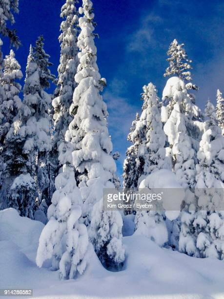 low angle view of snow covered trees against blue sky - deep snow stock pictures, royalty-free photos & images
