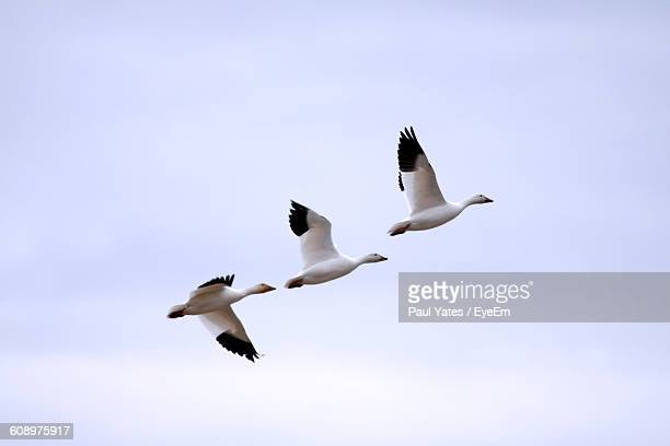 Low Angle View Of Snow Geese Flying Against Clear Sky