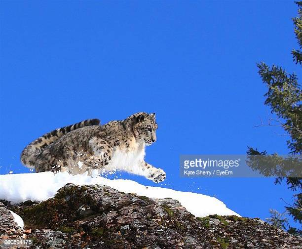 Low Angle View Of Snow Leopard Jumping Over Rocks Against Clear Blue Sky