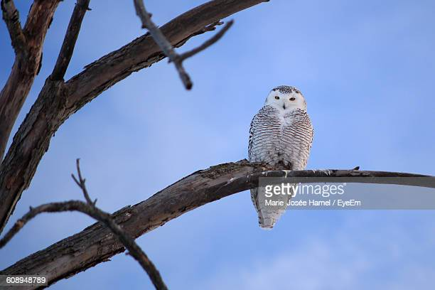 Low Angle View Of Snowy Owl Perching On Branch Against Sky