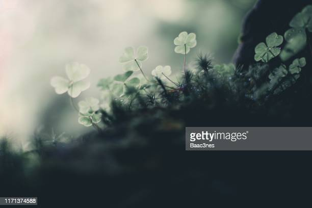low angle view of some clovers growing on the forest floor - forest floor stock photos and pictures