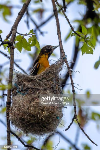 low angle view of songbird perching on nest,sarnia,ontario,canada - サルニア ストックフォトと画像