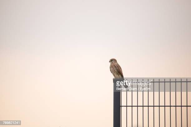 Low Angle View Of Sparrow Perching On Fence Against Clear Sky During Sunset