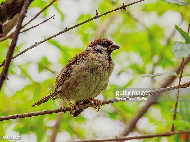 Low Angle View Of Sparrow Perching On Tree