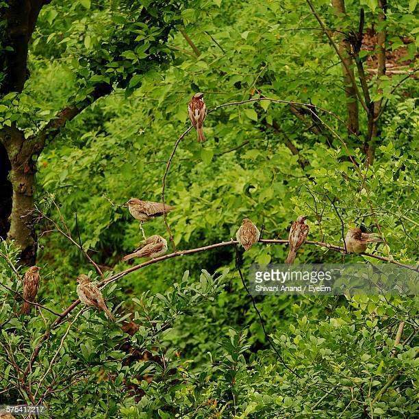 Low Angle View Of Sparrows Perching On Tree
