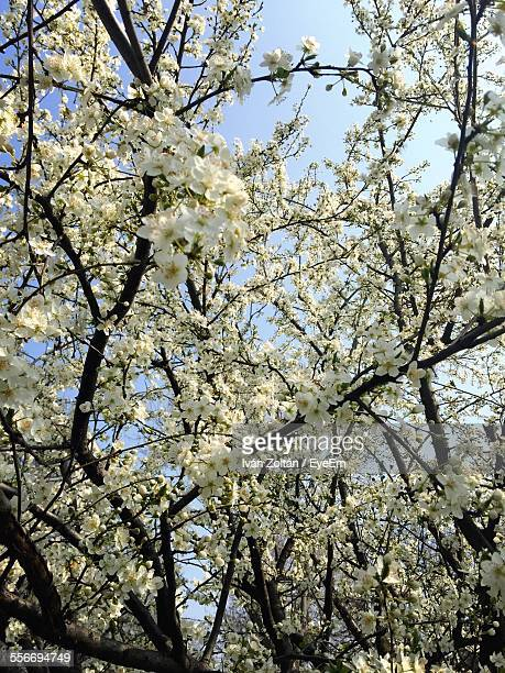 low angle view of spring flowers blooming on tree - iván zoltán stock pictures, royalty-free photos & images