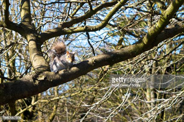 low angle view of squirrel on tree - nigel owen stock pictures, royalty-free photos & images