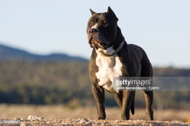 low angle view of staffordshire bull terrier standing on field - pit bull photos et images de collection