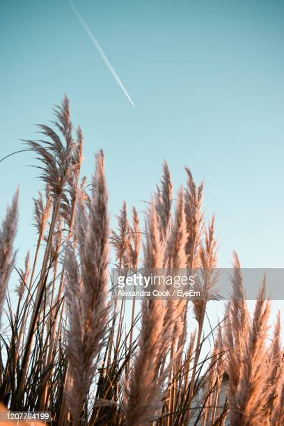 low angle view of stalks against blue sky and contrail - pampa stock-fotos und bilder