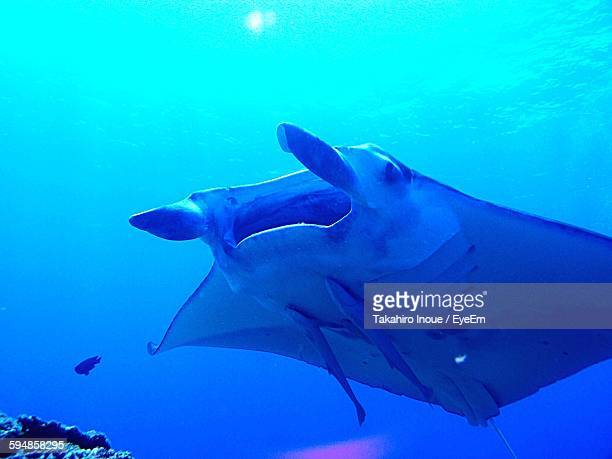 low angle view of stingray swimming in sea - inoue stock photos and pictures