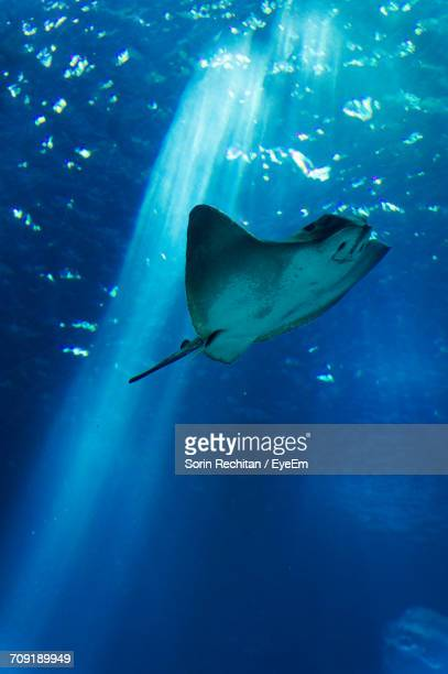low angle view of stingray swimming undersea - stingray stock photos and pictures