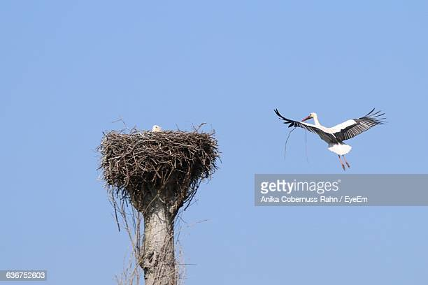 low angle view of stork flying by nest against clear blue sky - bird's nest stock photos and pictures