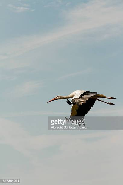 low angle view of stork flying in sky - albrecht schlotter stock photos and pictures
