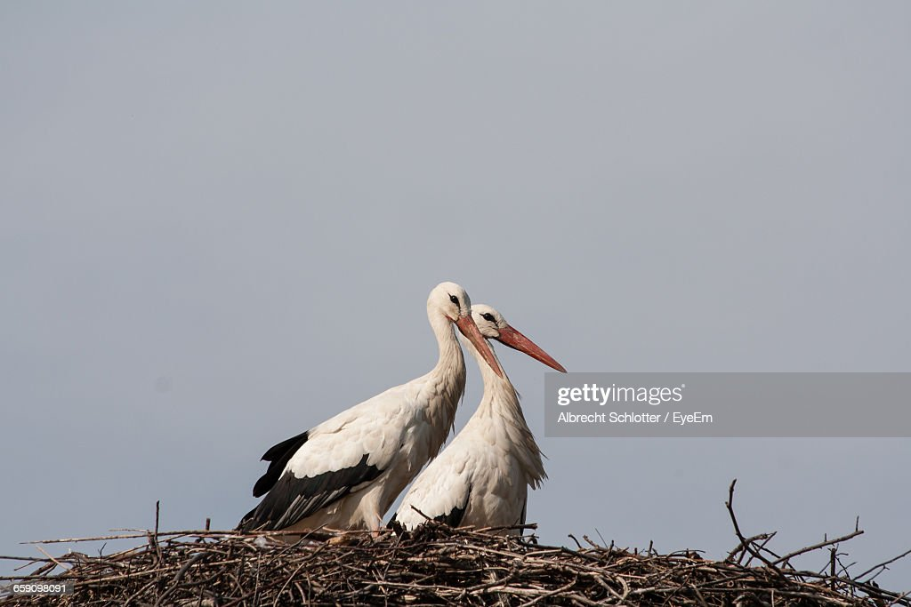 Low Angle View Of Storks In Nest Against Clear Sky : Stock-Foto
