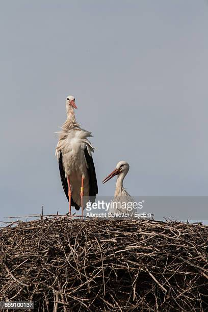 low angle view of storks in nest against clear sky - albrecht schlotter stock-fotos und bilder