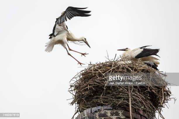 Low Angle View Of Storks On Nest Against Clear Sky