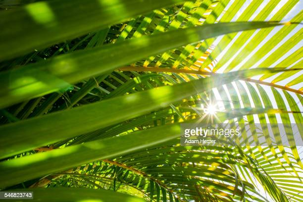 Low angle view of sun shining through palm fronds