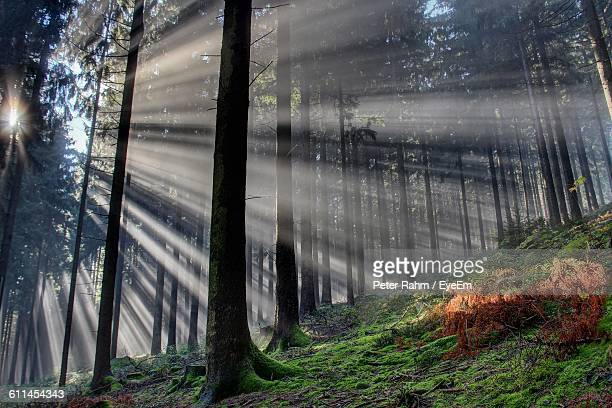 Low Angle View Of Sunbeams Amidst Trees In Forest