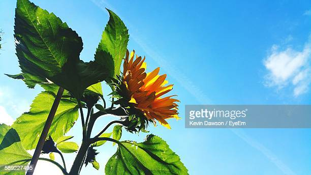 Low Angle View Of Sunflower Blooming On Field Against Sky