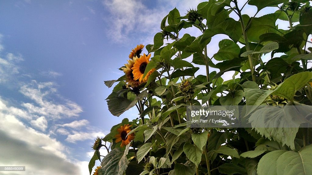 Low Angle View Of Sunflower Plants Against Sky : Stock Photo