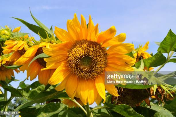 Low Angle View Of Sunflowers Blooming On Field Against Sky