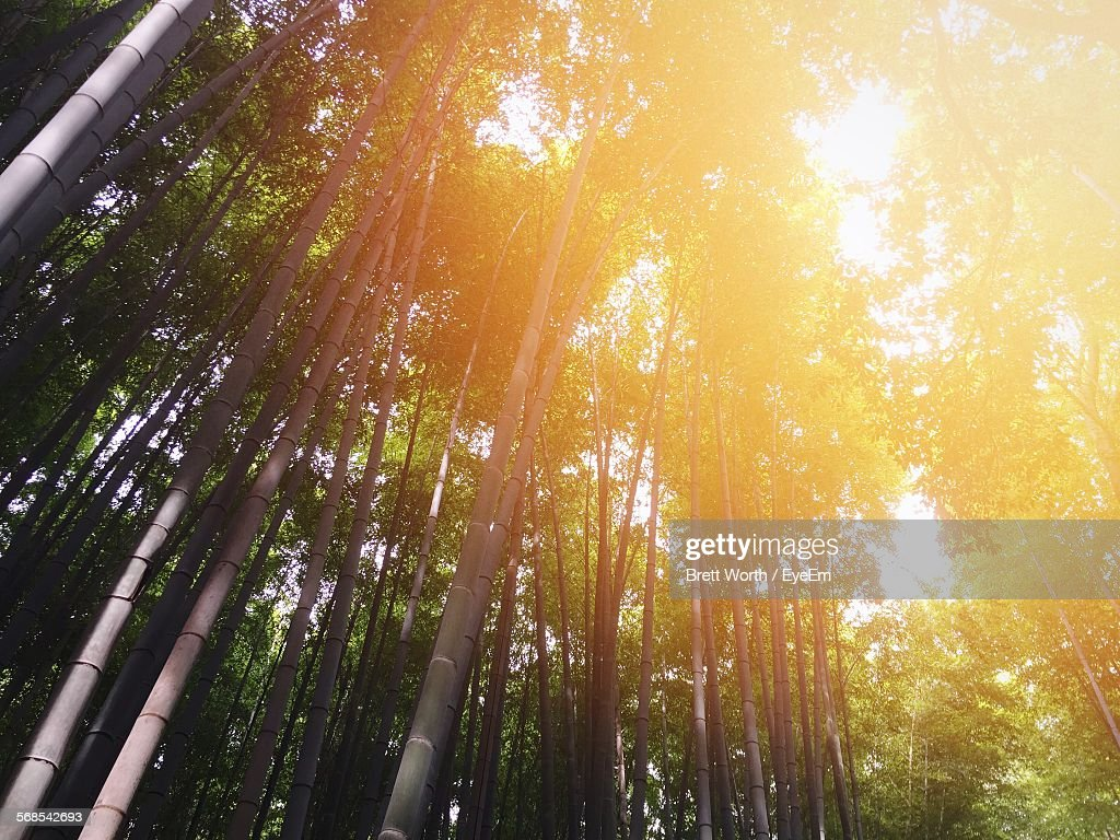 Low Angle View Of Sunlight Falling On Bamboo Trees In Forest : Stock Photo