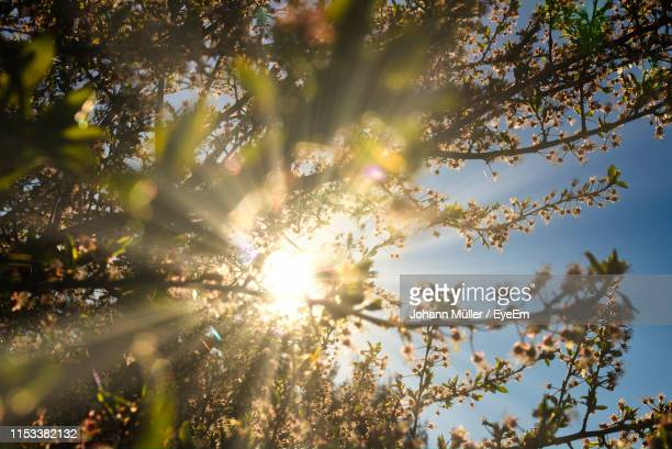 low angle view of sunlight streaming through tree - frühling stock-fotos und bilder