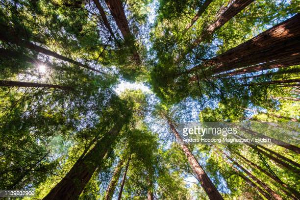 low angle view of sunlight streaming through trees in forest - muir woods stock photos and pictures