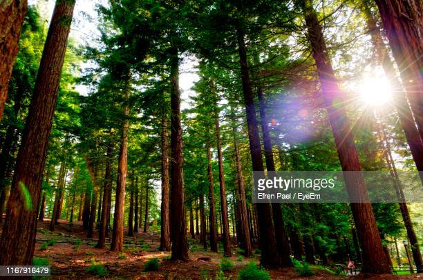 low angle view of sunlight streaming through trees in forest - tree stock pictures, royalty-free photos & images